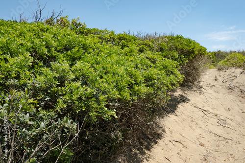 Rimigliano coastal park, the sand dunes covered with juniper, myrtle and lentiscus, tuscan mediterranean scrubland Fototapeta