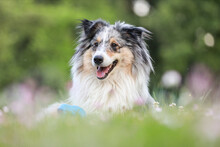 Blue Merle Sheltie Shetland Sheepdog Laying On The Grass And Chewing Small Kids Watering Can In Blue Color.