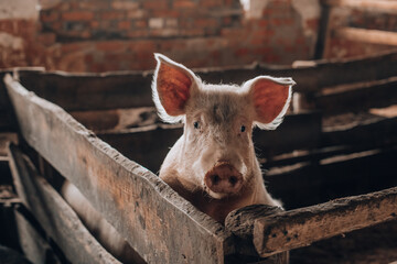 Young pig with dirty snout behind wooden fence
