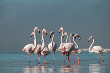 Wild African Life. Group Birds Of Pink African Flamingos  Walking Around The Blue Lagoon On A Sunny Day