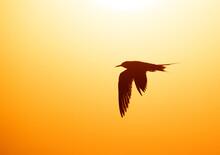 Silhouette Of White-cheeked Tern Against The Sun At Tubli Bay, Bahrain