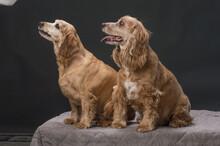 Two Cocker Spaniels