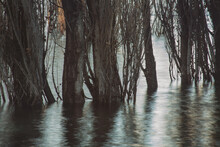 Flooded Poplar Trees In The Lake Abstract Background Nature