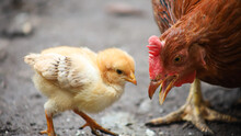 A Laying Hen Stands Next To Her Chick, She Opened Her Mouth.