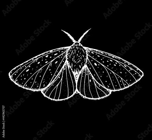 Fototapeta White ermine moth hand drawn vector illustration