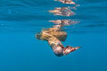 Olive Seas Snake Eating Fish In Water