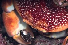 Batwin Crab Amidst Pink Corals In Sea