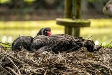 Black Swan Resting