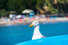 Seagull Head Portrait. Gull Is Hiding Behind A Blue Ocean Kayak. Blurred Busy Summer Beach On Background.