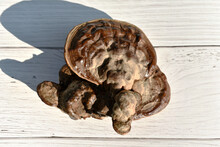 The Red-brown Lingzhi Mushrooms Were Placed On A White Wooden Table.
