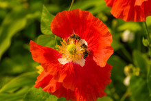 Two Bees Pollinate Poppy Flowers