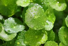 Raindrops On Gotu Kola Leaves. Natural Background Centella Asiatica (gotu Kola) With Succulent Fresh Leaves, With Shoot Focus