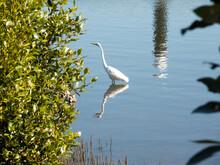 Intermediate Egret Hunting For Food Near The Bush Plant In Cook River, Sydney, Australia.