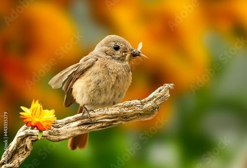 Fotografia Redstart Bird Eat Insect Songbird Wood Perched