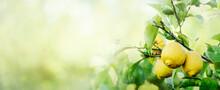 Ripe Lemons Hanging On Lemon Tree With Sunlight And Bokeh Background. Fruit Growing Orchard. Nature Frame Design Layout.