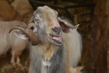 Funny Brown Farm Goat Shows His Tongue