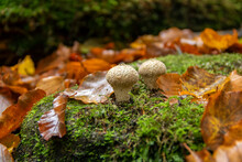 Young Puffballs In Autumn Leaves In The Forest