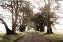Amazing Tunnel In Cypress Trees In Misty Light