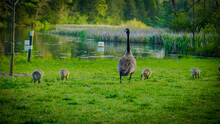 Gaggle Of Geese With Baby Goslings In Arkansas