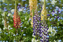 Beautifully Blooming Flowers Such As Lupines And Forget-me-nots In The Garden