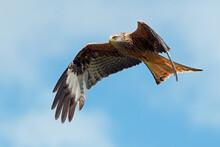 Red Kite (Milvus Milvus) Flying Through A Bright Summer Sky