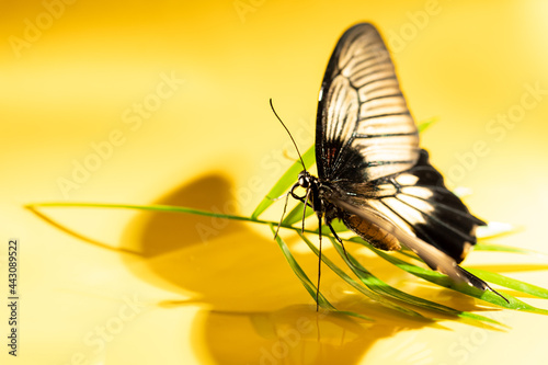 Canvas Large tropical butterfly Papilio lowi on green sheet of shading, Yellow backgrou