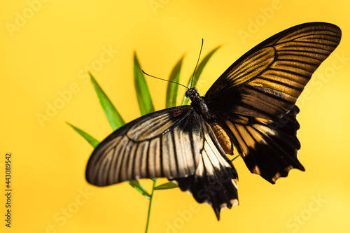 Large tropical butterfly Papilio lowi on green sheet of shading, Yellow backgrou Fotobehang