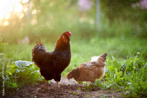 Canvas-taulu A beautiful black rooster in the poultry yard stands in the rays of the setting