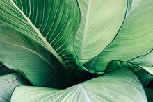 Abstract Tropical Green Leaves Pattern, Lush Foliage Houseplant Dumb Cane Or Dieffenbachia The Tropic Plant...