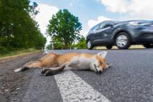 Viele Junge Füchse Werden Jedes Jahr Opfer Des Straßenverkehrs