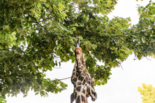 The Giraffe Reaches With Its Tongue To The Leaves On The Trees For Food.