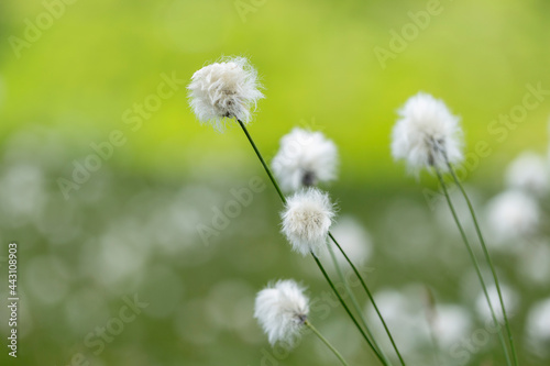 Obraz na plátně Eriophorum vaginatum, the hare's-tail cottongrass, tussock cottongrass, or sheathed cottonsedge, is a species of perennial herbaceous flowering plant in the sedge family Cyperaceae