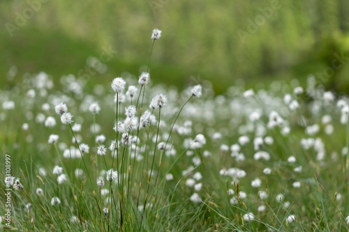 Obraz na plátne Eriophorum vaginatum, the hare's-tail cottongrass, tussock cottongrass, or sheathed cottonsedge, is a species of perennial herbaceous flowering plant in the sedge family Cyperaceae