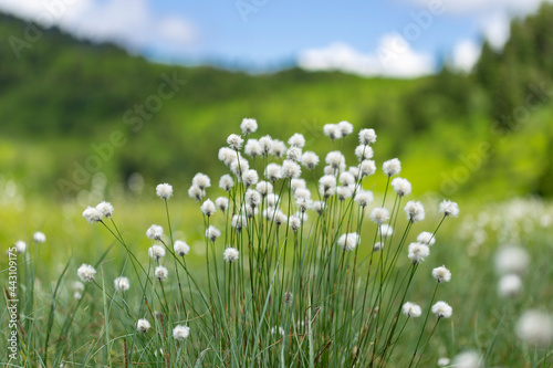 Fotografia, Obraz Eriophorum vaginatum, the hare's-tail cottongrass, tussock cottongrass, or sheathed cottonsedge, is a species of perennial herbaceous flowering plant in the sedge family Cyperaceae