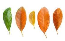 Set Of Jackfruit Leaf Isolated On White Background