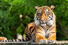 The Siberian Tiger Is A Tiger From A Specific Population Of The Panthera Tigris Tigris Subspecies Native To The Russian Far East, Northeast China And Possibly North Korea.