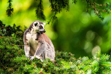 The Ring-tailed Lemur (Lemur Catta) Is A Large Strepsirrhine Primate And The Most Recognized Lemur Due To Its Long, Black And White Ringed Tail. It Belongs To Lemuridae.