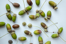 Different Acorns On White Background.
