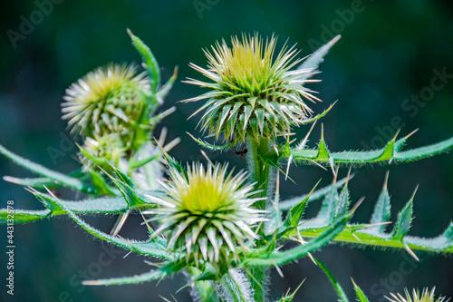 Fotografie, Obraz thistle flower in spring garden