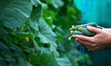 Fresh Cucumber On A Man's Hand In The Garden, A Good Harvest.