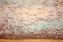 Alight: A Large Flock Of Snow Geese Taking Off.