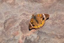 A Common Buckeye Butterfly (Junonia Coenia) Suns Itself On A Stone In A Summer Garden In Rural Virginia, USA.