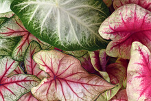 Colorful Leaves Of Caladium Plant In Pink, White And Green Colors