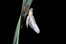 A Teneral Blue Dasher (Pachydiplax Longipennis) Dragonfly Clings To Its Old Exoskeleton.  It Has Just Crawled Out Of A Pond And Metamorphosed Out Of Its Larval Form. It Will Soon Acquire Adult Color.