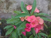 Closeup Of Crown Of Thorns Red Flower