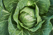 Green Cabbage Leaves Background, Close-up