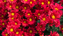 Red Chrysanthemum Flowers In The Garden Background.