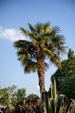Sabal Palmetto, Fan Palm Surrounded By Small Plants, Blue Sky In The Background