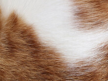 Cat Fur Texture Background.  Ginger And White Cat Hair Texture.