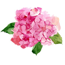 Watercolor Vector Illustration Pink Hydrangea Flower On White Background. Hand-painted Botanical Illustration. Flat Lay, Top View